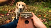 Cant Help Falling In Love on a Kalimba.webm
