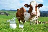 cow4-1.jpg