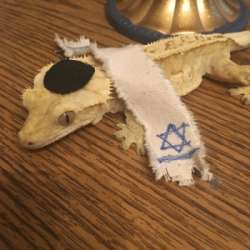 thumbjewish-bearded-dragon-43904495.png