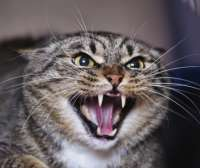 depositphotos10708457-stock-photo-angry-cat-hissing-aggress[...].jpg
