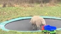 Sheep Discovers How To Use A Trampoline.mp4