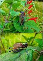 Mexican Grasshopper 1.jpg