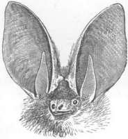300px-Plecotusauritusras.jpg