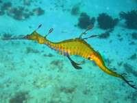 Phyllopteryxtaeniolatus1.jpg