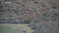 Liveleak.com - Moment python snatches wild deer in ambush vi.mp4